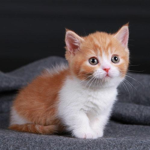334 Pipina   Munchkin female kitten