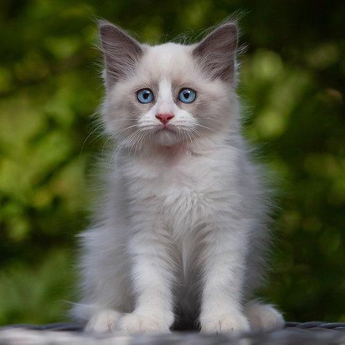 256 Dasha   Ragdoll female kitten