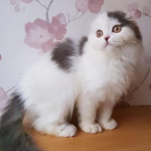 289 Quentin     Scottish fold longhair male kitten