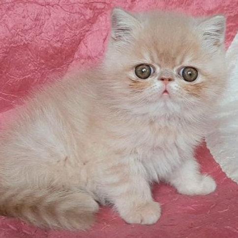 88 Richie  Exotic  male kitten