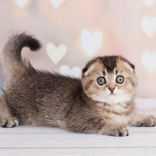 463 Stella Scottish fold shorthair female kitten
