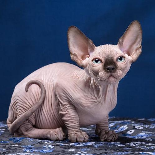 311 Bonoparte  male Sphinx kitten