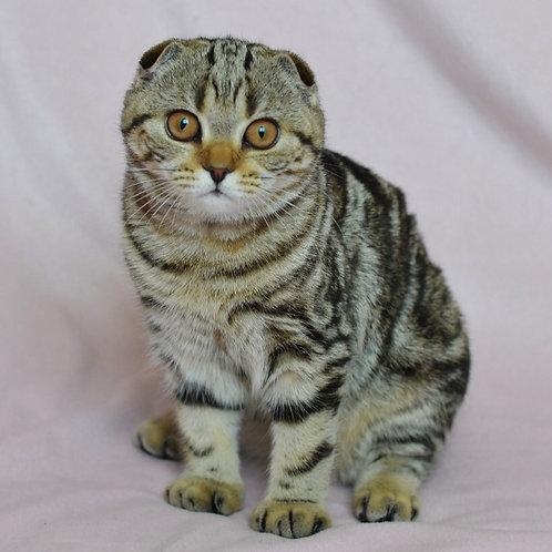 452 Oxy  Scottish fold shorthair female kitten