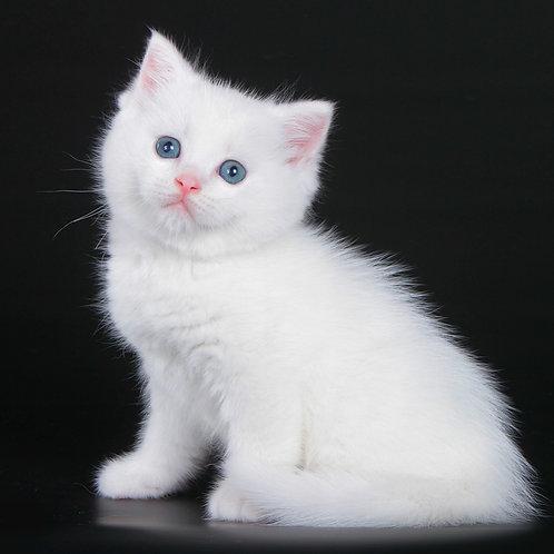 1036 Armstrong  British shorthair male kitten