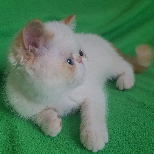 125 Miledy  Exotic  female kitten