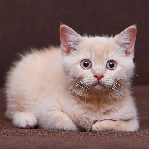 834 Capelka  British shorthair female kitten