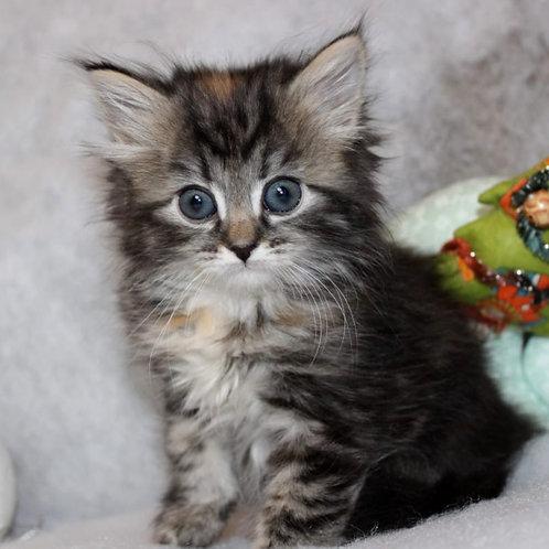34 Oliviya  Siberian female kitten