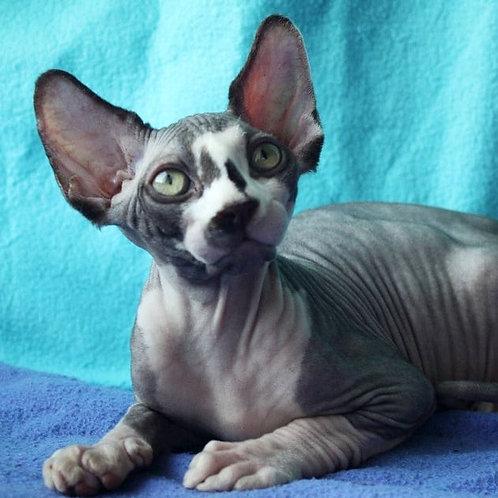 472 Daster  male Sphynx kitten