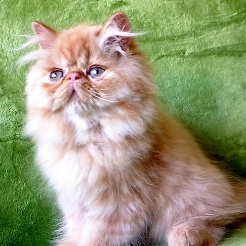 113 Xena Persian female kitten