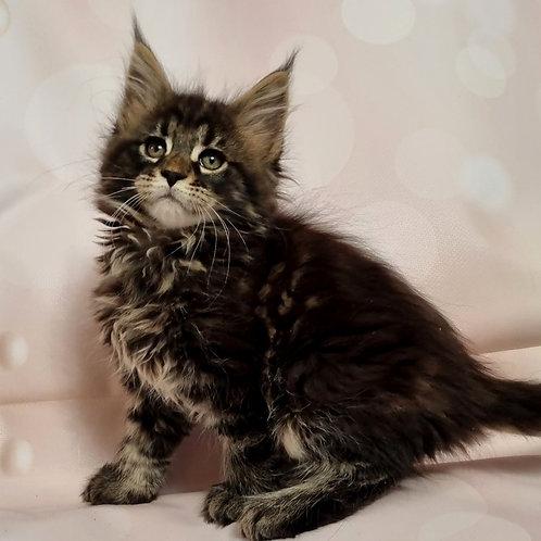 335 Rebeca  Maine Coon female kitten