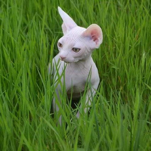 Ramon male Sphinx kitten