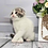 Thumbnail: 496 Tommy   Scottish fold shorthair male kitten