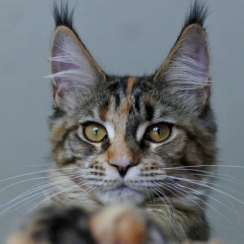 500 Lisana   Maine Coon female kitten