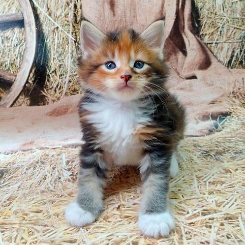 629 Naomi  Maine Coon female kitten