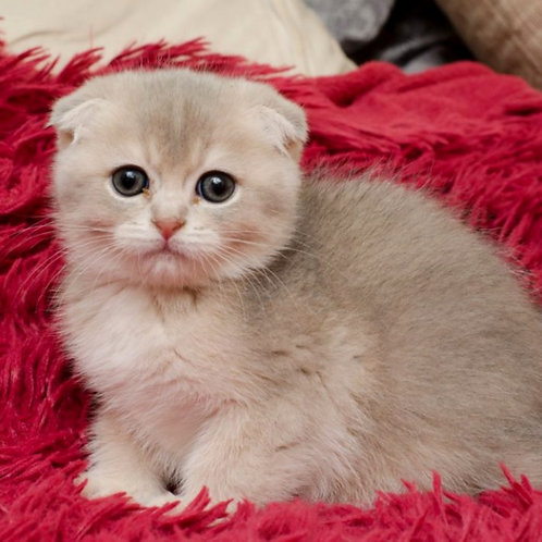 1128 Onegin  Scottish fold shorthair male kitten