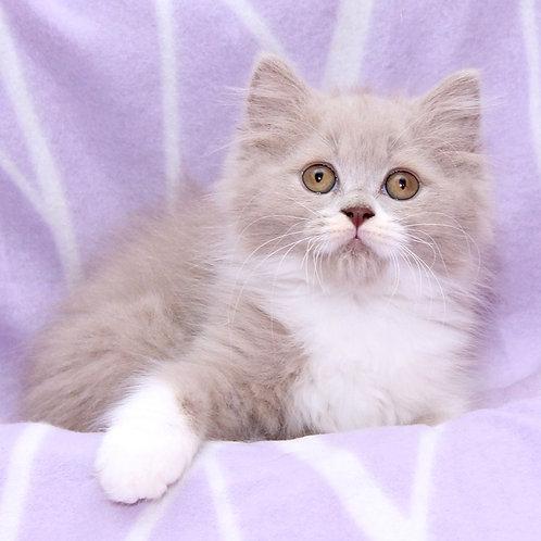 1152 Sapphire  British longhair male kitten