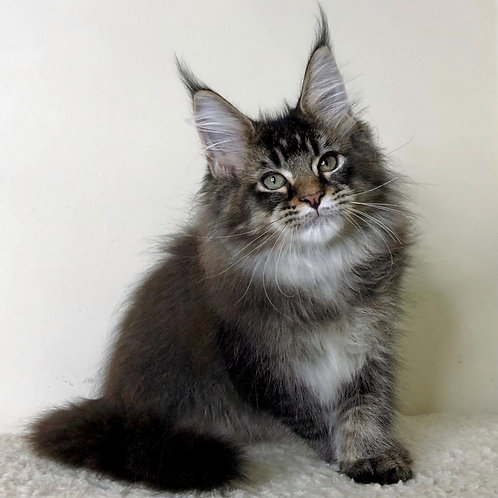 777 Zodiac Maine Coon male kitten