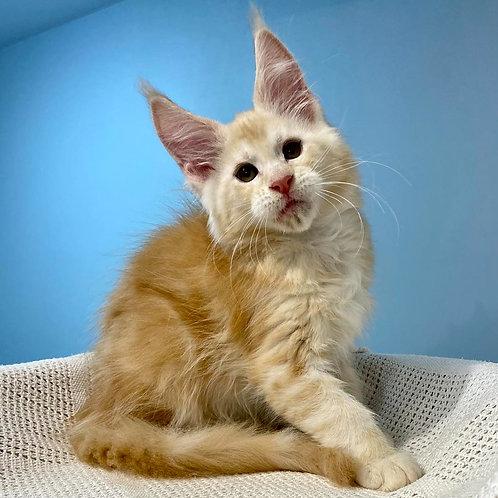 579 Deviz  Maine Coon male kitten