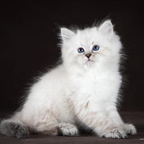 210 Albus     Siberian male kitten
