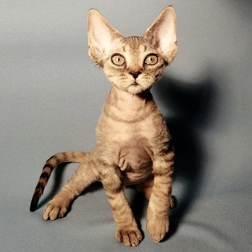 730 Lyutik  male kitten Devon Rex