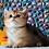 Thumbnail: 317 Taylir      British shorthair male kitten