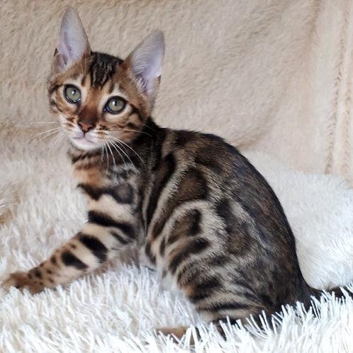 274 Evra  purebred Bengal female kitten