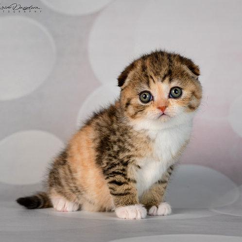 Halwa Scottish fold shorthair female kitten