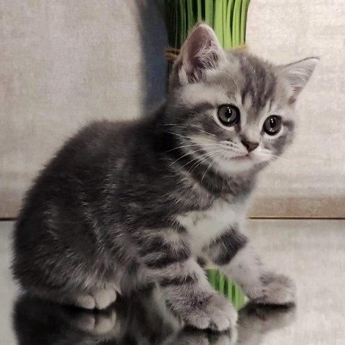 949 Tvony   British shorthair male kitten