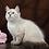 Thumbnail: 133 Neera     Siberian female kitten