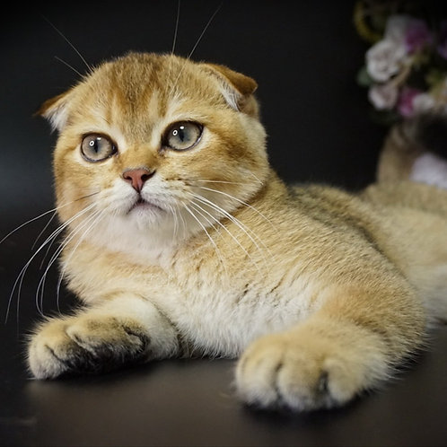 429 Crown Scottish fold shorthair male kitten