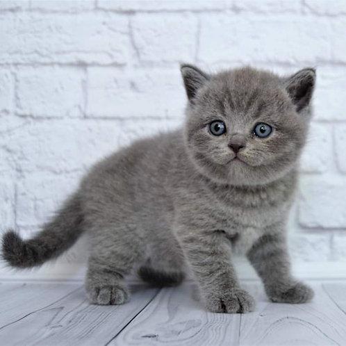 321 Happiness British shorthair female kitten