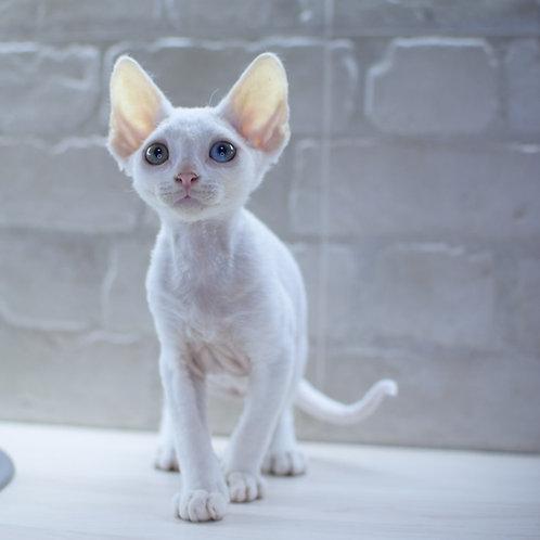 406 Makintosh male kitten Devon Rex