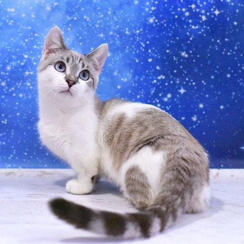 403 Ahiles  Munchkin male kitten