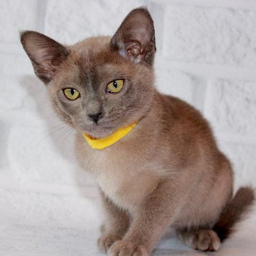 134 Cash   Burmese  male kitten