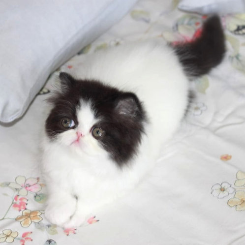 110 Nikoletta Persian female kitten