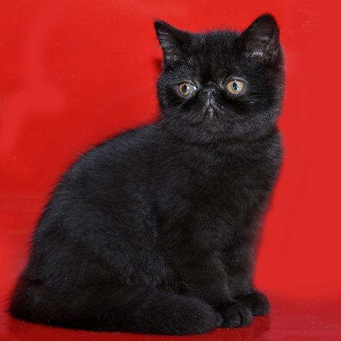 73 Funtik Sladunchik   Exotic shorthair male kitten