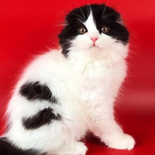 590 Yoshi  Scottish fold longhair male kitten