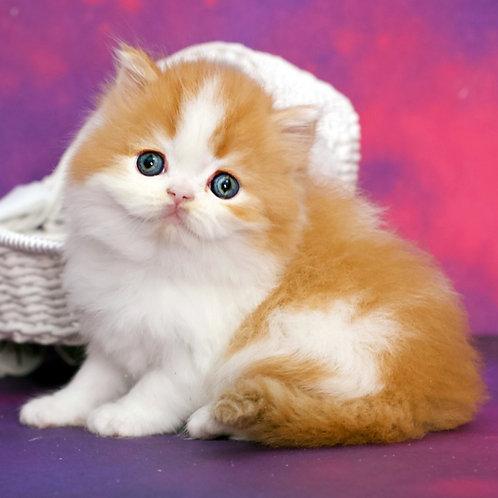 1119 Jackson  Scottish straight longhair male kitten