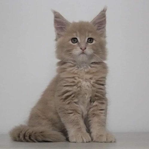 854 Twin  Maine Coon male kitten