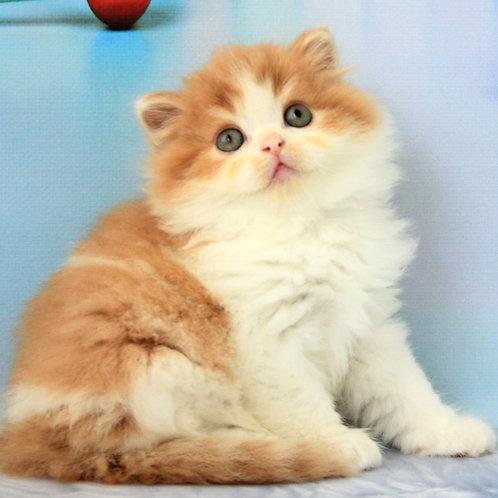 803 Iden   Scottish straight longhair male kitten