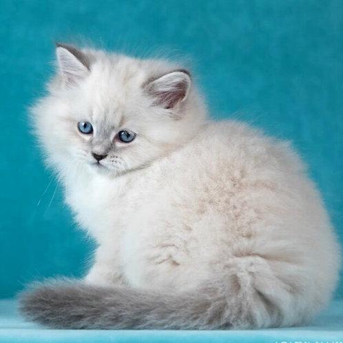 145 Gucci     Siberian male kitten