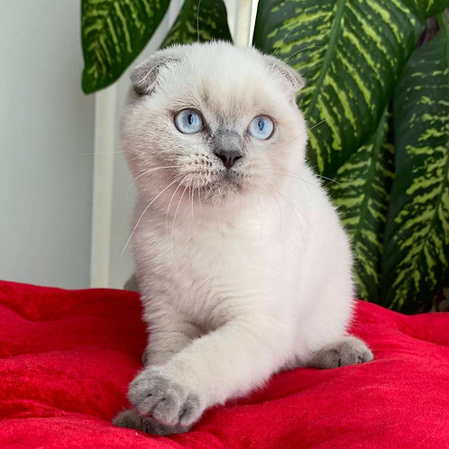 1061 Yosip  Scottish fold shorthair male kitten