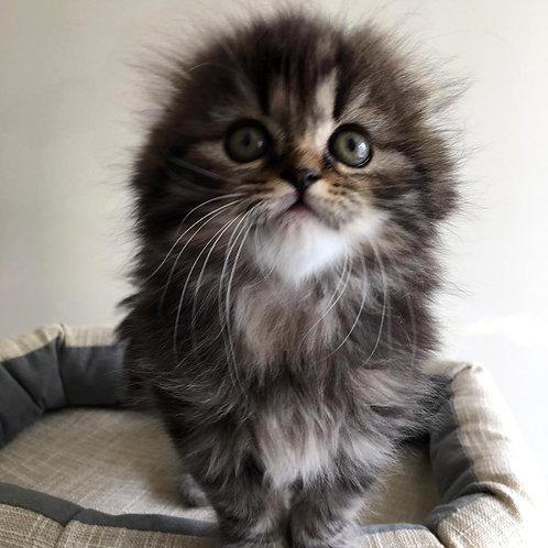 634 Kuzma   Scottish fold longhair male kitten
