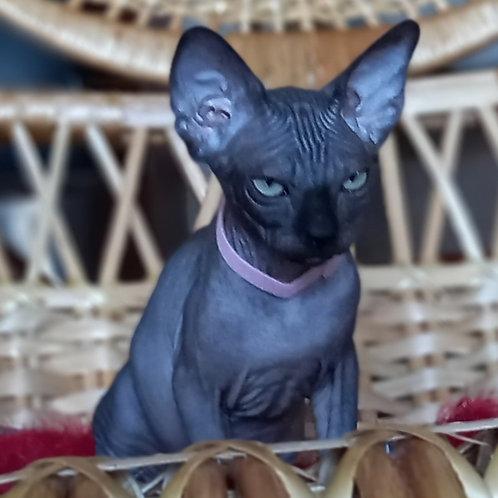 734 Boni  female Sphynx   kitten