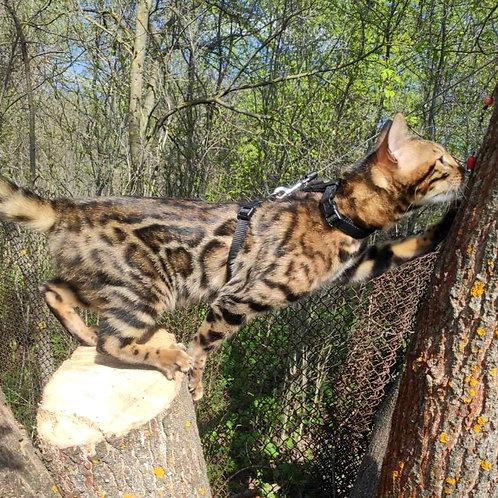 95 Mery  purebred Bengal female kitten