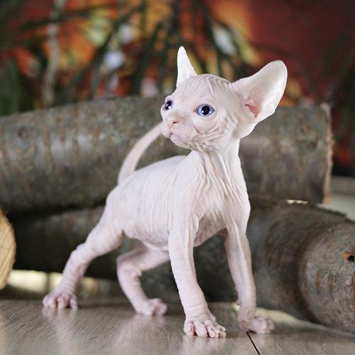 La-Murr male Sphinx kitten