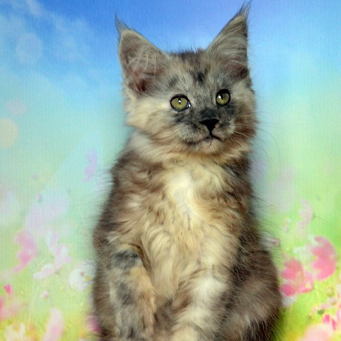 Gretta Maine Coon female kitten