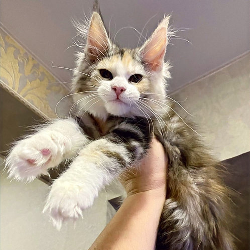 119 Nessy  Maine Coon female kitten
