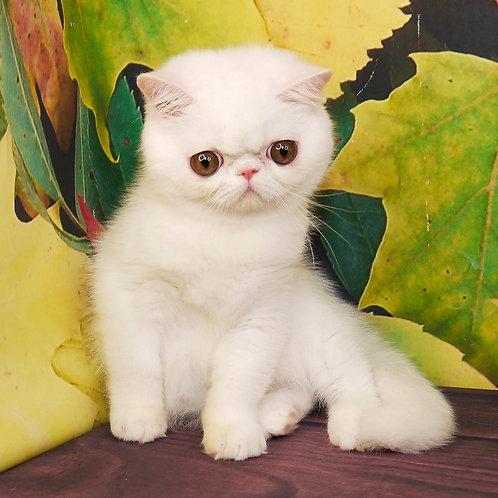 229 Flamenco Exotic  male kitten