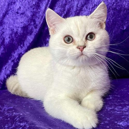 1023 Norton   Scottish straight shorthair male kitten